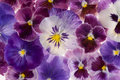 Pansy Royalty Free Stock Image - 29383956