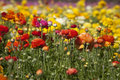 Colorful Ranunculus Flower Field Stock Photo - 29394000