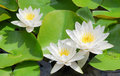 White Water Lily Royalty Free Stock Photo - 2940975