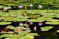 Lotuses In The Pond Royalty Free Stock Photo - 2941425