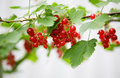 Red Currant Royalty Free Stock Photo - 2942545