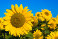 Beautiful Sunflowers Royalty Free Stock Images - 2945969