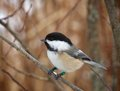 Black-Capped Chickadee Royalty Free Stock Photo - 29410125