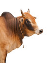 Portrait Of An Ox Stock Photo - 29421780
