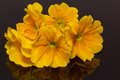 Bundle Of Beautiful Spring  Flowers Of Yellow Primula On Black Background Royalty Free Stock Image - 29425006