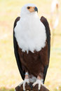 African Fish Eagle Royalty Free Stock Images - 29429799