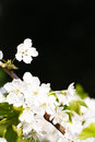 Apple Blossom Copyspace Royalty Free Stock Photography - 29433297