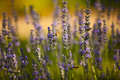 Lavender Royalty Free Stock Photography - 29466467