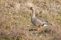 White Fronted Goose Royalty Free Stock Image - 29470246