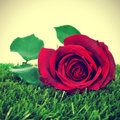 Red Rose Royalty Free Stock Photos - 29476998