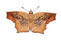 Brown Butterfly Royalty Free Stock Image - 29487366
