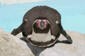 Well-fed Humboldt Penguin (Spheniscus Humboldti) Royalty Free Stock Images - 29488129