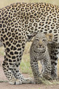 Female African Leopard Walking With Her Small Cub, Tanzania Royalty Free Stock Photo - 29490865