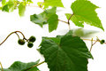 Grape Vine Royalty Free Stock Images - 2955429