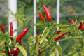 Small Red Hot Chilli Pepper Stock Image - 2958061