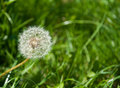 Dandelion In The Grass Stock Photos - 29500883