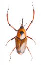 Snout Beetle Stock Images - 29501434