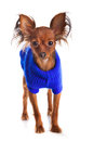 Toy Terrier. Russian Toy Terrier On A White Background. Funny Li Royalty Free Stock Image - 29511366