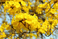 Yellow Flower Blossom Royalty Free Stock Image - 29511886
