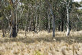 Gum Trees Regrowth Stock Photography - 29513852