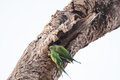 Two Green Parrots Perched On A Old Tree Trunk Stock Photography - 29515362