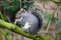 Grey Squirrel Stock Photo - 29517040