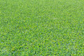 Duckweed Covered On The Water Surface Royalty Free Stock Images - 29521599