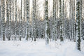 Birch Tree Forest In Winter Royalty Free Stock Photos - 29528638