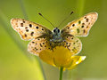 Back Lit Sooty Copper Butterfly Stock Image - 29529021