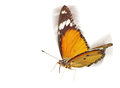 Flying Butterfly Royalty Free Stock Images - 29533189