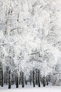 Russian Winter In Birch Grove Stock Photos - 29535423