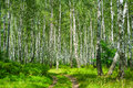 Birch Forest Stock Images - 29550014