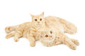Two Scottish Cats Royalty Free Stock Photos - 29561208