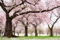 Blossoming Cherry Trees With Dreamy Feel Stock Image - 29576841