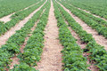 Strawberry Field Royalty Free Stock Image - 29582916