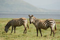 Two Zebras Stock Photography - 29584492