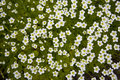 The Carpet Of Small White Flowers Stock Images - 29584504