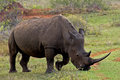 Grazing Rhino Stock Images - 29589514