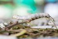 Silkworm Royalty Free Stock Images - 29591249