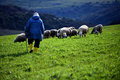 Sheep Grazing Shepherd And Pasture Stock Images - 29593364