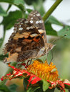 Painted Lady (Vanessa Cardui) Stock Image - 2967641