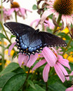 Tiger Swallowtail Butterfly Royalty Free Stock Image - 2967696
