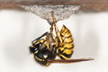 Wasp Royalty Free Stock Image - 29605346