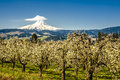 Mt Hood, Apple Orchards, Oregon Royalty Free Stock Image - 29606376