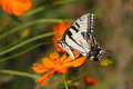 Eastern Tiger Swallowtail Stock Photography - 29609472