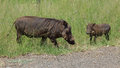 Family Of Warthogs Royalty Free Stock Photo - 29625655