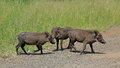 Family Of Warthogs Royalty Free Stock Photography - 29625767