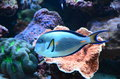 Tropical Coral Reef Fish Royalty Free Stock Photo - 29644495
