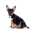 Young Black Coat Puppy Dog Isolated On White Royalty Free Stock Images - 29681329