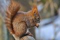 Red Squirrel Stock Image - 29684681